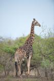 D40_7147F giraf (Giraffa camelopardalis, Giraffe).jpg