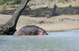 D40_7465F nijlpaard (Hippopotamus amphibius, Hippopotamus.jpg