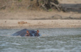 D40_7498F nijlpaard (Hippopotamus amphibius, Hippopotamus).jpg