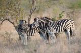 D40_6988F steppezebra (Equus quagga, Burchell's zebra).jpg