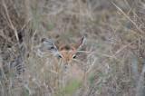 D40_7443F impala (Aepyceros melampus, impala).jpg