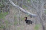 D40_6888F zuidelijke grondneushoornvogel (Bucorvus Leadbeateri, Southern Ground Hornbill).jpg