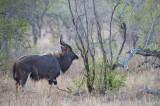 D40_7004F nyala (Tragelaphus angasii, Nyala).jpg