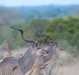 D40_7066F grote koedoe (Tragelaphus strepsiceros, Greater kudu).jpg