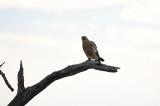D40_7261F savannearend (Aquila Rapax, Tawney Eagle).jpg