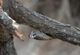 D40_7668F baardspecht (Dendropicos namaquus, Bearded woodpecker).jpg