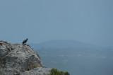 D40_5469F witnekraaf (Corvus albicollis, White-necked raven).jpg