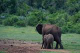 D40_5643F Afrikaanse olifant (Loxodonta africana, African Elephant).jpg