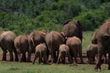D40_5722F Afrikaanse olifant (Loxodonta africana, African Elephant).jpg