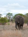 700_7291F Afrikaanse olifant (Loxodonta africana, African Elephant).jpg