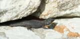 D40_2659F swartgordelakkedis (Cordylus niger, Black Girdled Lizard).jpg