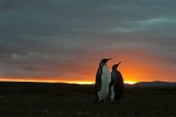 700_8535F koningspinguin (Aptenodytes patagonicus, King Penguin).jpg