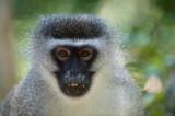 D40_5190F vervet, Zuid-Afrikaanse groene meerkat of blauwaap (Chlorocebus pygerythrus, Vervet monkey).jpg
