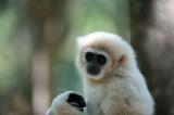 D40_5070F gibbon (Hylobatidae, Gibbon).jpg