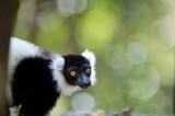 D40_5224F vari, bonte maki of gekraagde maki (Varecia variegata, Black-and-white ruffed lemur).jpg