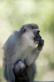 D40_5252F vervet, Zuid-Afrikaanse groene meerkat of blauwaap (Chlorocebus pygerythrus, Vervet monkey).jpg