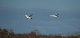 D40_8962F wilde zwaan (Cygnus cygnus, Whooper Swan).jpg