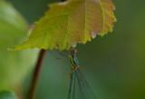D40_6251F houtpantserjuffer (Lestes viridis).jpg