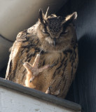 D40_0260F oehoe (Bubo bubo, Eurasian Eagle-Owl).jpg