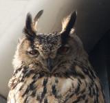D40_9984F oehoe (Bubo bubo, Eurasian Eagle-Owl).jpg