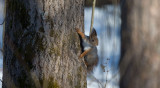 D40_1165F rode eekhoorn (Sciurus vulgaris, Red squirrel).jpg