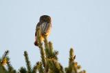 D40_1586F dwerguil (Glaucidium passerinum, Eurasian Pygmy Owl).jpg