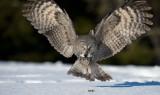 D40_3086F laplanduil (Strix nebulosa, Great Grey Owl).jpg