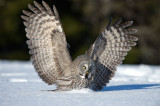 D40_3088F laplanduil (Strix nebulosa, Great Grey Owl).jpg