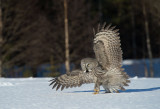 D40_3137F laplanduil (Strix nebulosa, Great Grey Owl).jpg