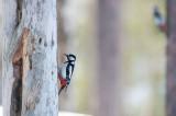 D40_2149F grote bonte specht (Dendrocopos major, Great Spotted Woodpecker).jpg