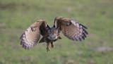 D40_6644F oehoe (Bubo bubo, Eurasian Eagle-Owl).jpg