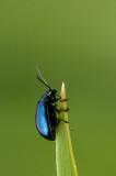 300_4078F elzenhaantje (Agelastica alni, alder leaf beetle).jpg