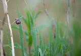 D40_8857F gewone tuinslak (Cepaea nemoralis, grove snail or brown-lipped snail).jpg