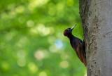 D40_3623F zwarte specht (Dryocopus martius, Black Woodpecker).jpg
