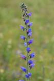D40_0952F slangenkruid (Echium vulgare, Viper's Bugloss or Blueweed).jpg