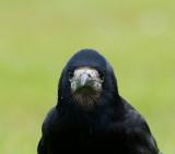 D40_4330F roek (Corvus frugilegus, Rook).jpg