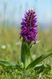 D40_4822F noordelijke moerasorchis (Dactylorhiza purpurella, Northern marsh orchid).jpg
