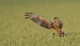 D40_6912F grauwe kiekendief (Circus pygargus, Montagu's Harrier).jpg