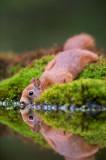 D40_0731F rode eekhoorn (Sciurus vulgaris, Red squirrel).jpg
