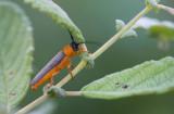 D40_9141F twee-ogige wilgenbok (Oberea oculata).jpg