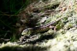 D40_2732F zandhagedis (Lacerta agilis, Sand lizard).jpg
