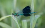 D40_2332F weidebeekjuffer (Calopteryx splendens, Western Demoiselle).jpg
