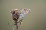 D40_1358F icarusblauwtje (Polyommatus icarus, Common Blue).jpg