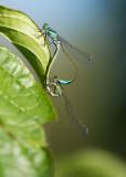 D40_2485F paringswiel lantaarntje (Ischnura elegans, Blue-tailed Damselfly).jpg