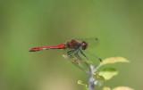 D40_3321F bloedrode heidelibel (Sympetrum sanguineum, Ruddy darter).jpg