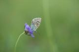 D40_4751F bleek blauwtje (Polyommatus coridon, Chalkhill blue).jpg