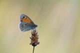 D40_4578F hooibeestje (Coenonympha pamphilus, Small Heath).jpg