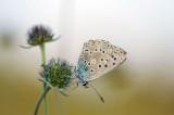 D40_4618F bleek blauwtje (Polyommatus coridon, Chalkhill blue).jpg