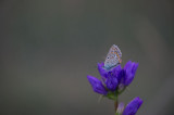 D40_4790F icarusblauwtje (Polyommatus icarus, Common Blue).jpg