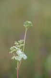 D40_1663F moerasspirea (Filipendula ulmaria, meadowsweet or mead wort).jpg